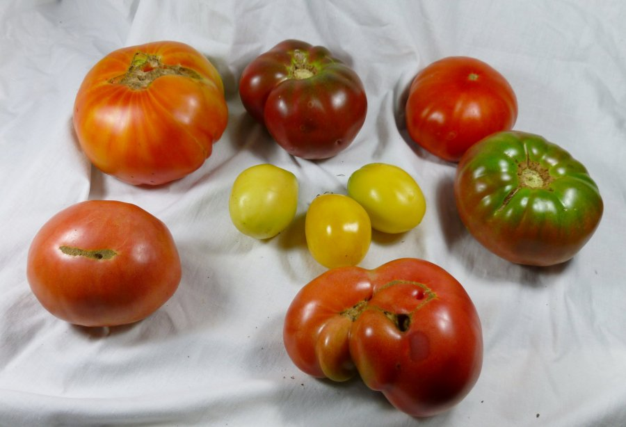 Heirloom tomato plants for sale, Cherokee Purple, Brandywine red, Sungold yellow, yellow Zebra, Mr. Stripey, Pineapple tomato, live nursery plants for sale, Chatham County, NC North Carolina Pittsboro, PBO, Siler City, Moncure, Goldston, Bynum, Bear Creek, Bonlee.